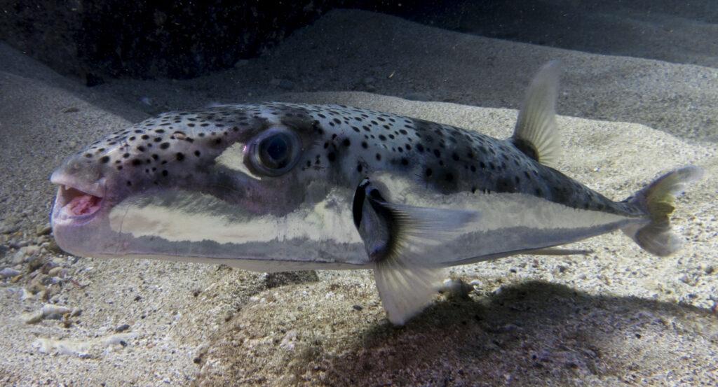 Lagocephalus sceleratus or silver-cheeked toadfish ©Oren Klein 2015