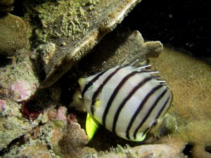 """Stripey"", a butterflyfish found in Hong Kong waters"