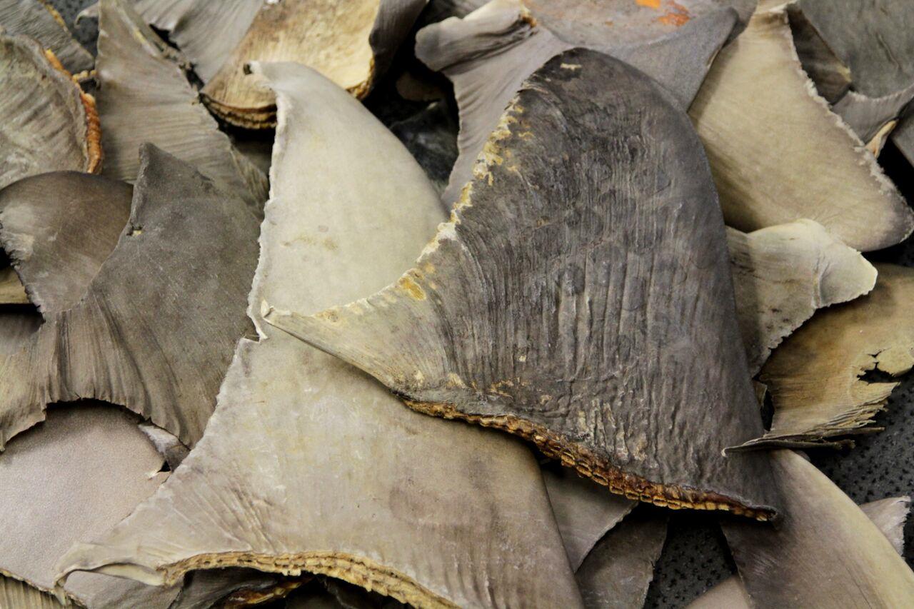 Les requins sont particulièrement prisés pour leurs ailerons et souvent pêchés illégalement (© S. Shea)