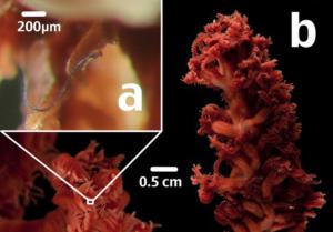 (a) Fibre micro-plastique dans une espèce coloniale de cnidaire. © Michelle Taylor